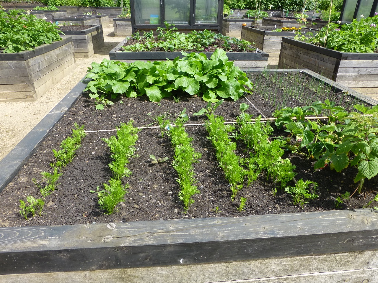raised bed plots with veg growing